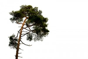 Scots Pine - Pinus sylvestris on white Background