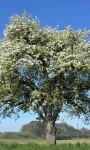 Drzewa owocowe idealne do ogrodu