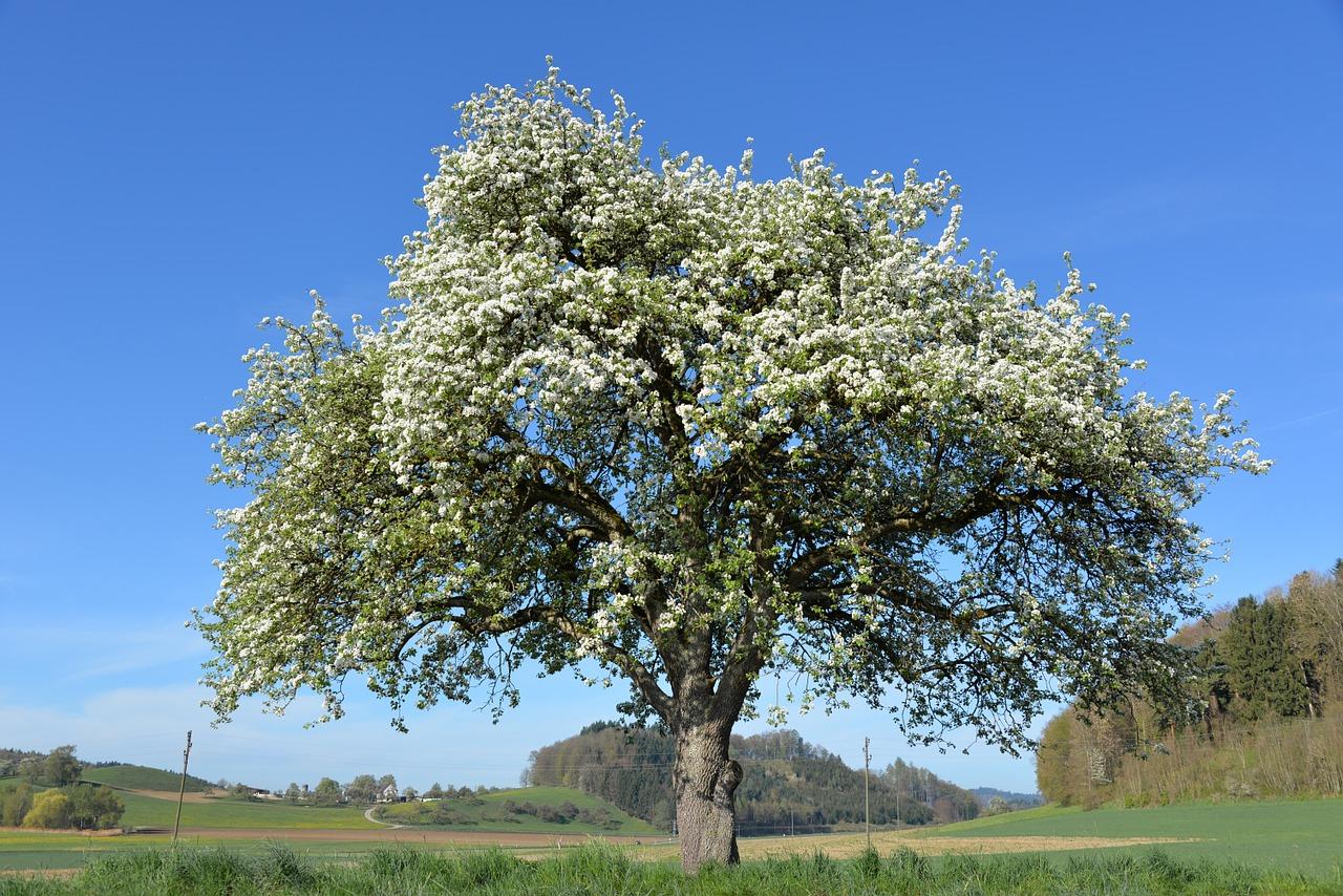 drzewo owocowe, jabłko