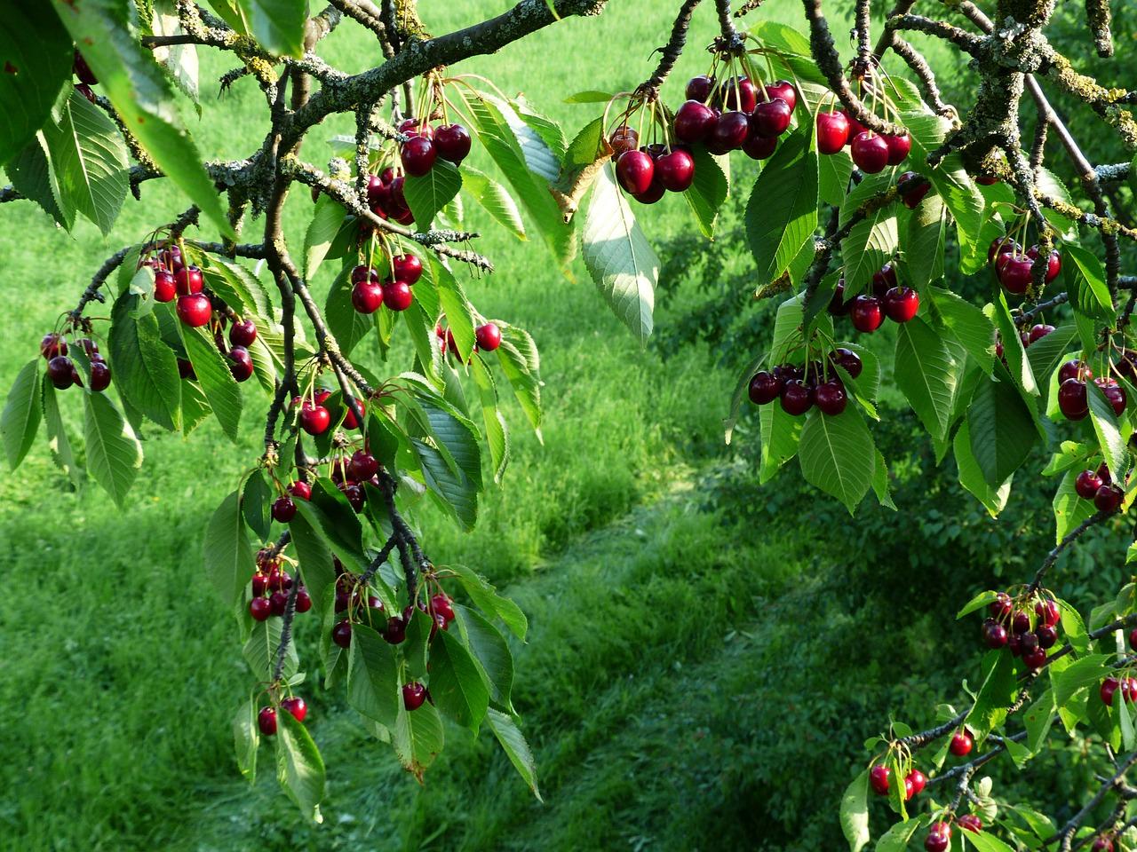 drzewo owocowe, czereśnie, ogród